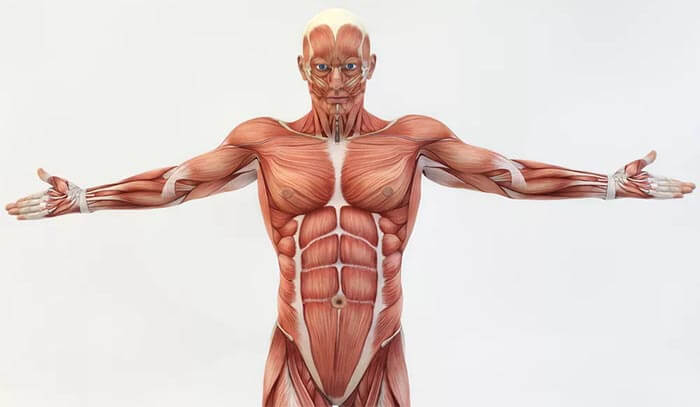 Division of muscles due to functions