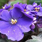 Three-colored violet